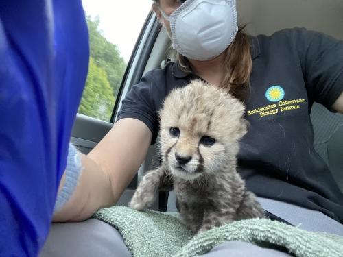 Cheetah cub in zookeeper's lap