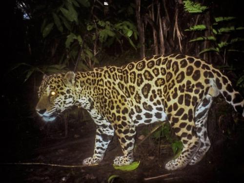 camera trap photo of jaguar