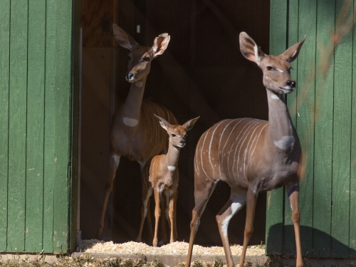 Lesser kudu with grandson and daughter.