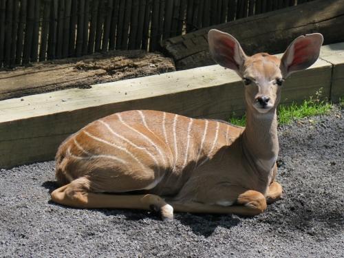 Baby kudu animal sits in its zoo enclosure