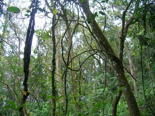 liana vines in forest via Wikipedia