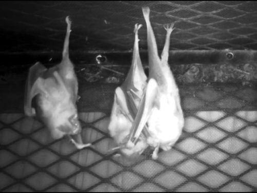 Three bats hang upside from a manmade enclosure