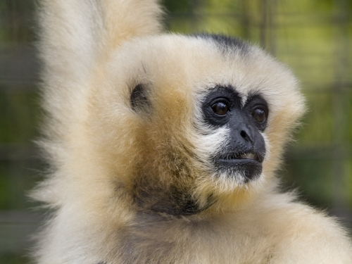 Munica, white-cheeked gibbon