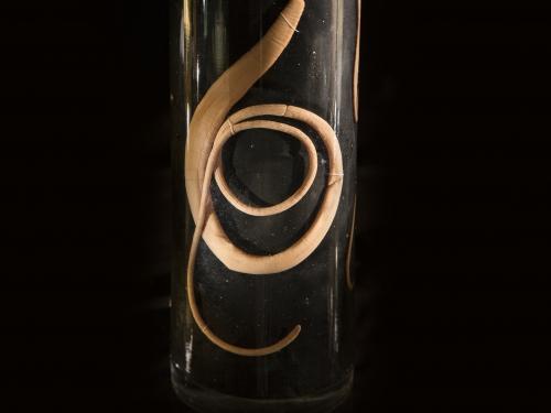 cropped photo of worm in specimen jar