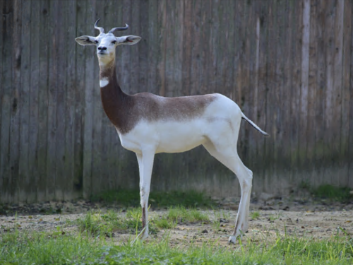 Dama gazelle stands in grass enclosure
