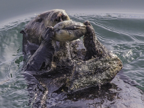 Sea otter holding a clam while floating on its back