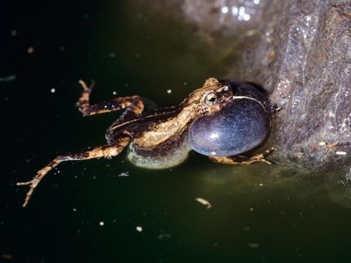 túngara frog