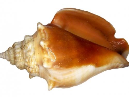 Strombus Alatus