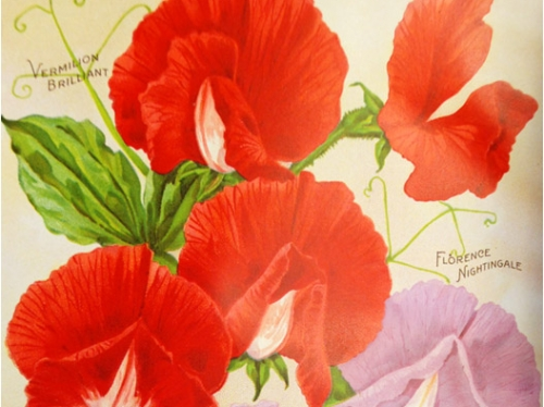colorful image of sweet pea flowers from Burpee's advertising