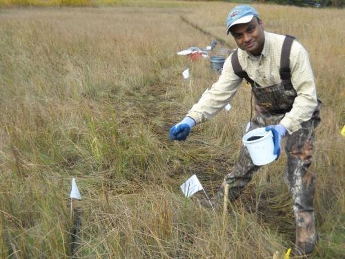 man spreading carbon pellets onto marsh to remediate methylmercury