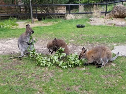 Wallabies eating leaves