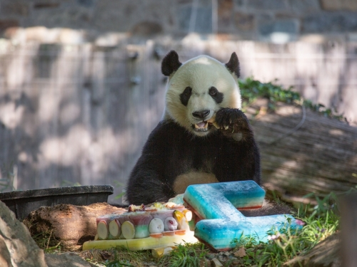Panda eating cake