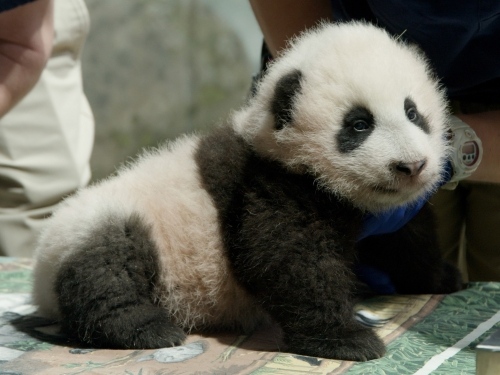 Giant panda cub Xiao Qui Ji