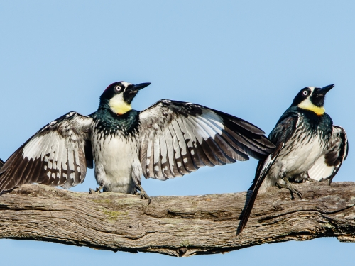Acorn woodpeckers doing the spread-wing display