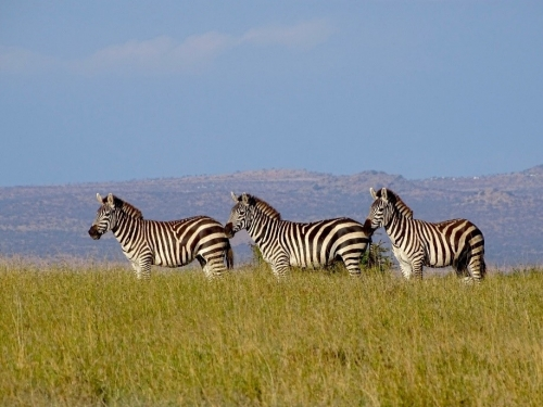 zebras in grass