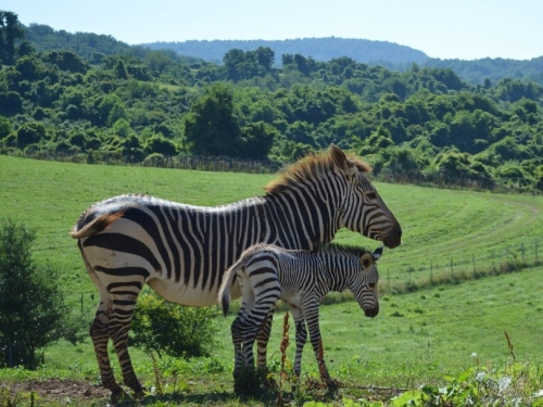 Mother and baby Hartmanns Mountain Zebras