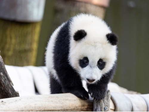Baby panda walks on tree branch