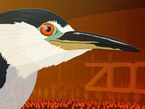 Illustration of a night heron