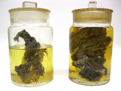 Berezovka Woolly Mammoth—Flesh in a Jar