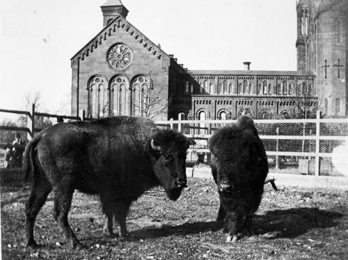 American Bison at the Castle, 1887 – 1889