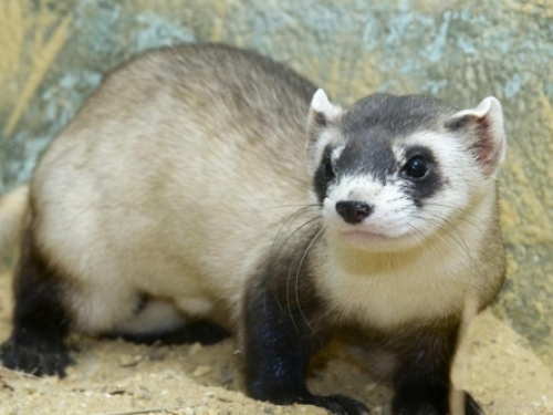 Close-up of black-footed ferret