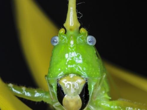 cone-headed green katydid