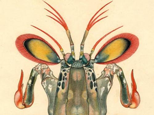 mantis shrimp drawing