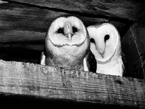 Black and white photo of two owls