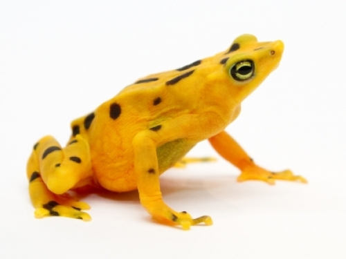Bright yellow frog against white background
