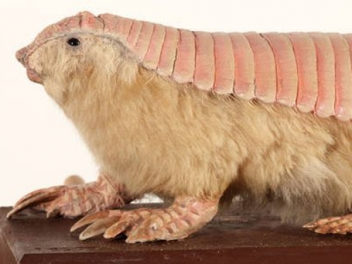 Armadillo with a pink shell back and furry body.