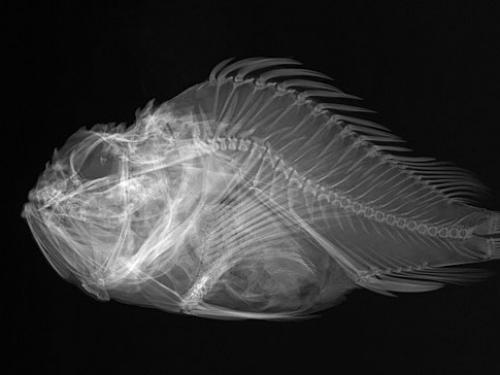 Shortsnout Scorpionfish X-Ray, 1908