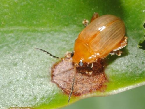 lea beetle