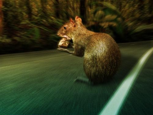 agouti on a road