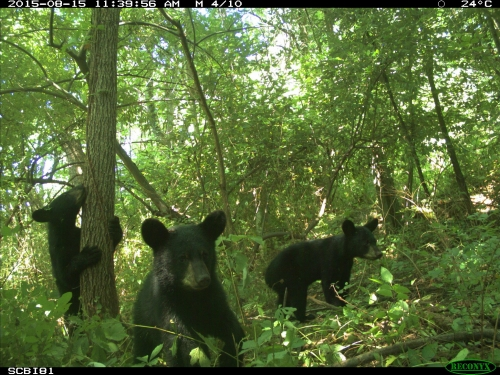 3 bears caught on camera