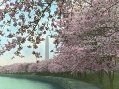 Cherry Blossom slide