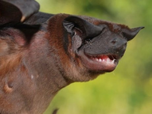 Waorani dog-faced bat