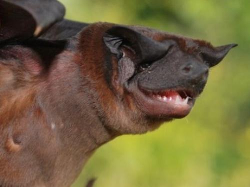 Waorani dog-faced bat
