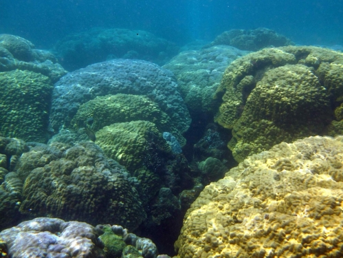 monoculture of boulder corals