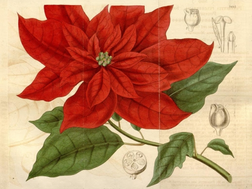 poinsettia engraving