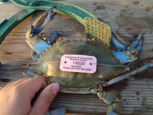 tagged crab