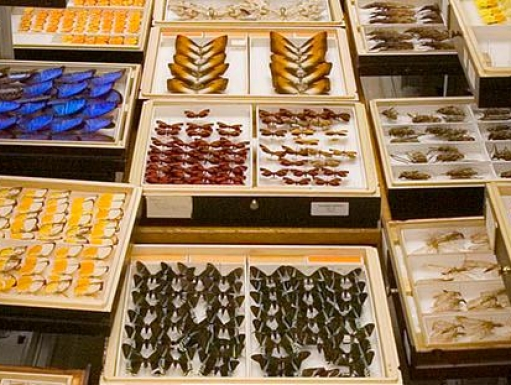 butterfly collections