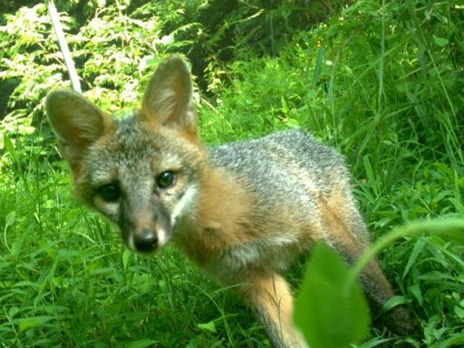 fox looks at camera