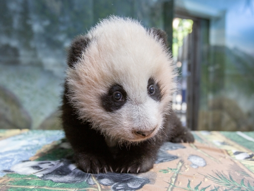 Panda cub sits on table