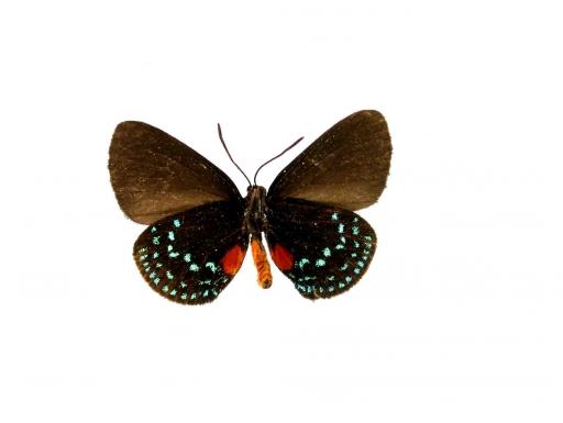 underside of male atala butterfly