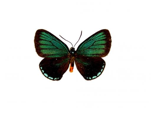 atala butterfly upperside