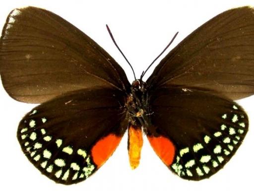 gotardii butterfly underside