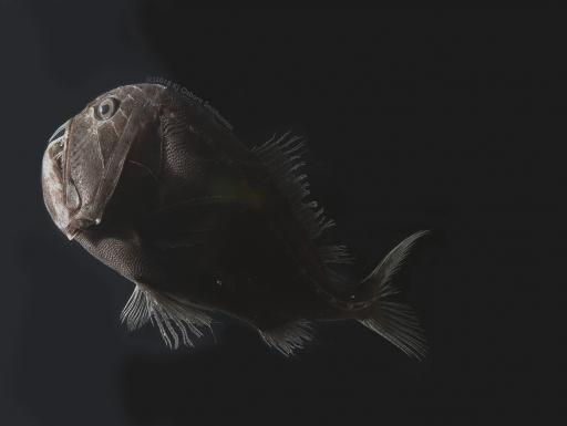 Deep-sea ultra black fish
