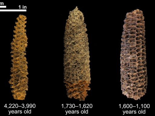 Three corn cobs of varying ages set against black background