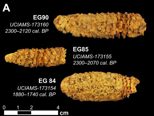 Three ancient corn cobs on black background