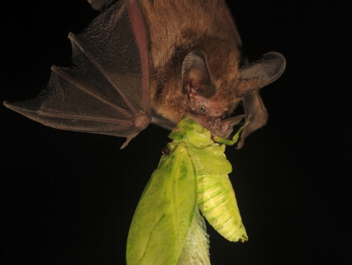 Bat with large katydid in its mouth